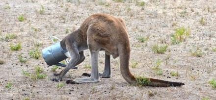 Kangguru2