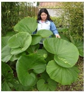 Sayuran Fuki - ngasih